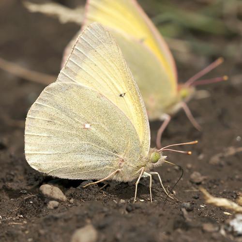 butterfy queenalexandrassulphur coliasalexandra robsantry
