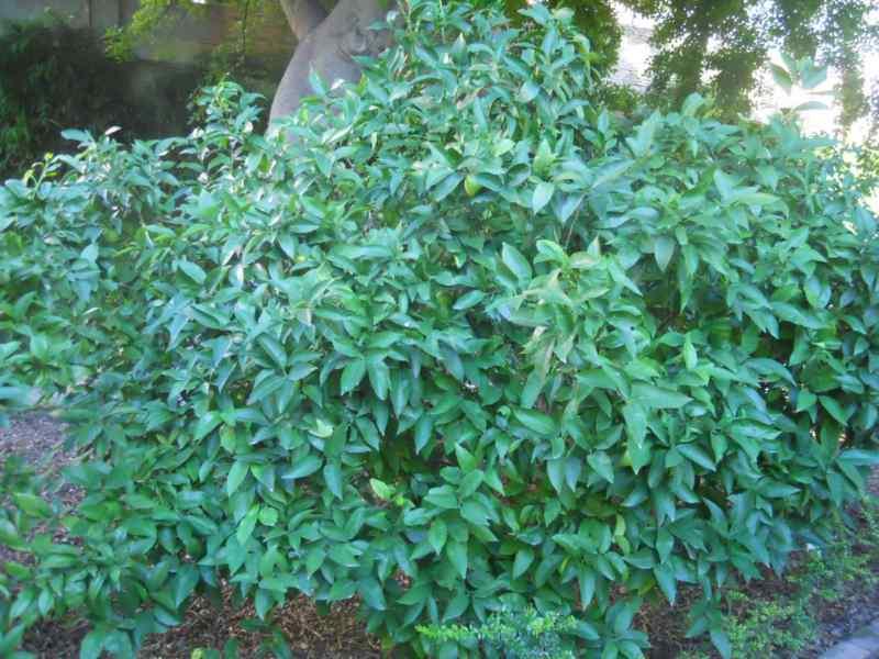 Citrus sinensis 'Salustiana' 2