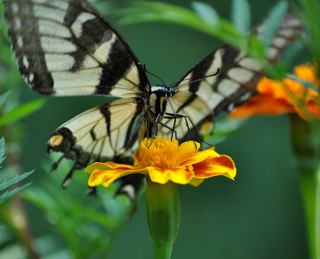 Butterfly on a Marigold Flower