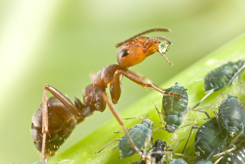 Ant drinking honeydew from aphid