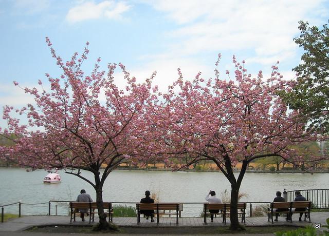 Sakura trees along Shinobazu Pond in Ueno Park Tokyo