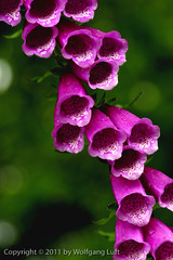 Digitalis, close-up