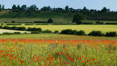 Poppies in a field, looking towards Tinkers Castle ridge
