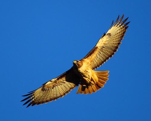 IMG_9005 Red-Tailed Hawk, Sacramento National Wildlife Refuge by ThorsHammer94539