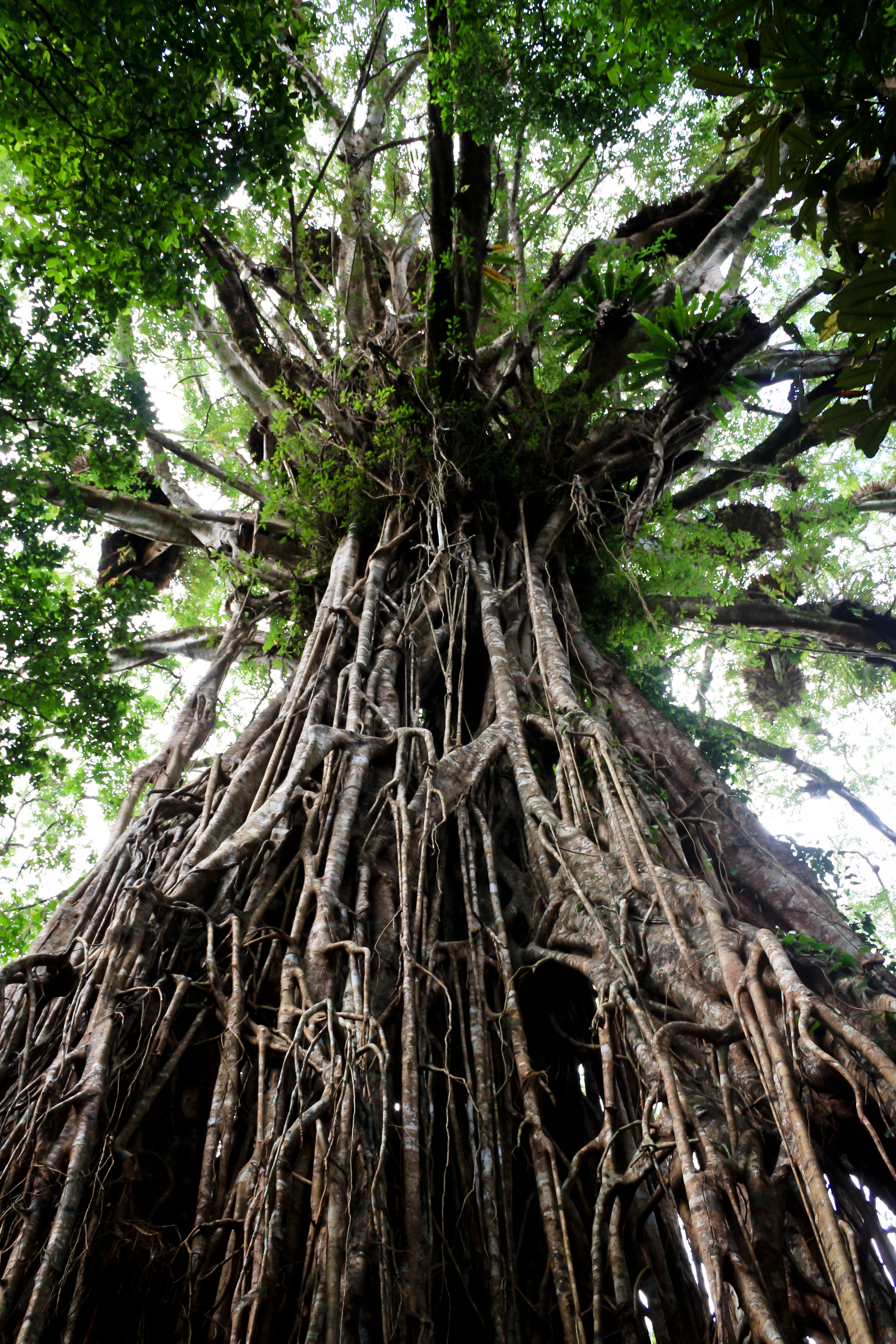 Nature Can Do That?: Strangler Fig