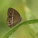 Dark-branded Bushbrown - Photo (c) Dean Morley, some rights reserved (CC BY-ND)