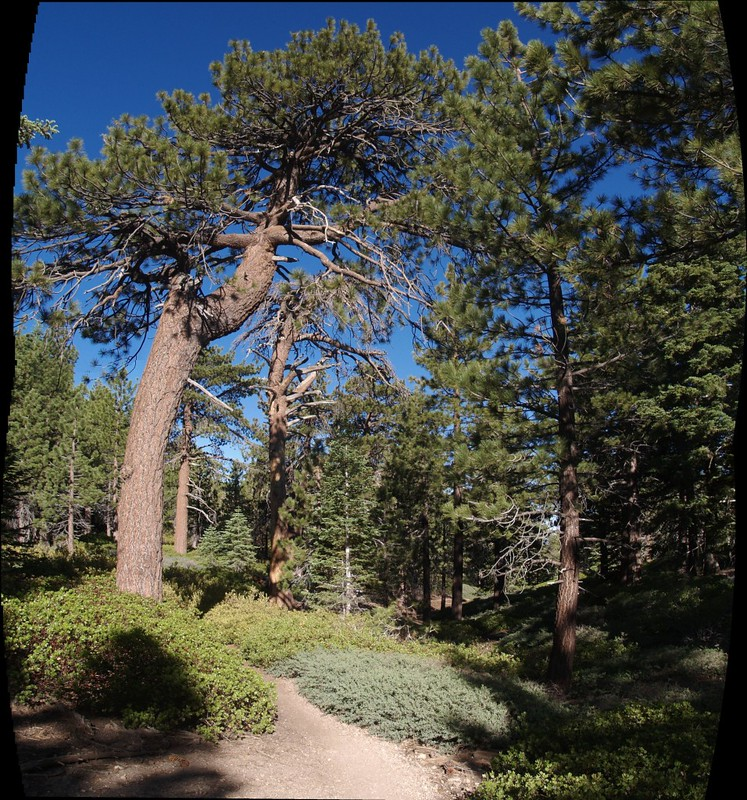 San Bernardino Peak Trail vertical panorama of a huge pine tree