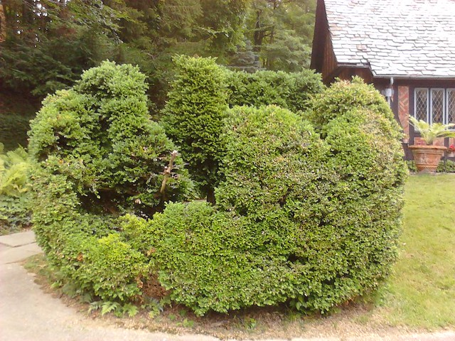 Boxwood before pruning Flickr Photo Sharing
