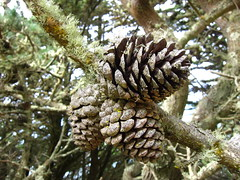 larch, evergreen, flower, branch, pine, leaf, tree, nature, flora, close-up, conifer cone, fir,