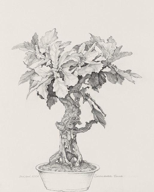 "Dick Rauh, Quercus dentate, 2008. C.V. Starr Bonsai Museum. Pen and ink on Fabriano 300lb. hot press. 20"" x 16""."