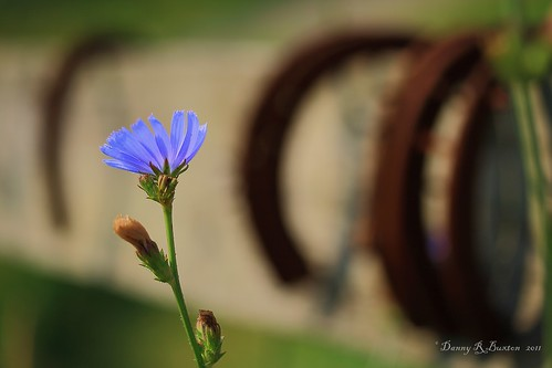 "blue macro canon landscape rebel nc weed niceshot carolina wildflower chicory ashe mountains"" 2011 county"" ""canon ""north carolina"" ""project xti"" 365"" mygearandme 60mm"" ""ashe"
