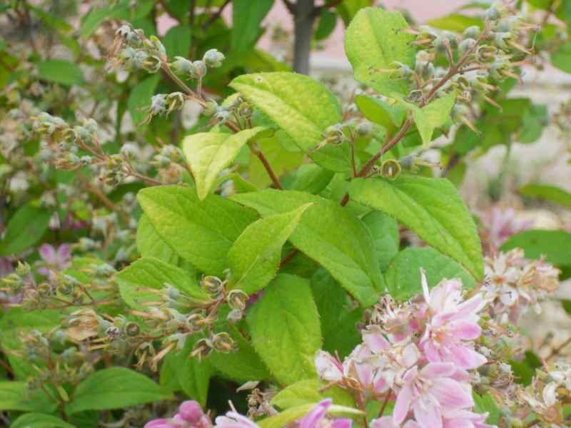 Deutzia lemoinei 'Mont Rose' 5