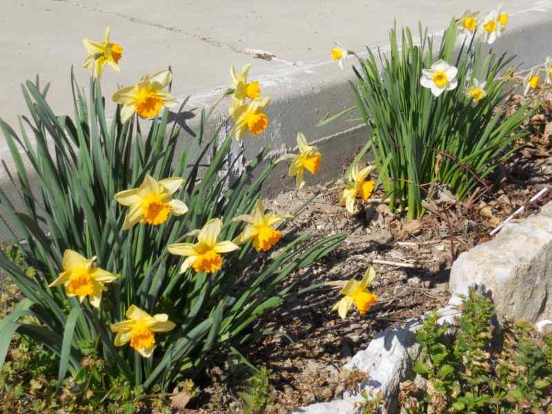 Narcissus trompeta hybridus 5