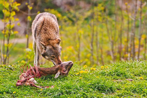 Wolf eating a deer