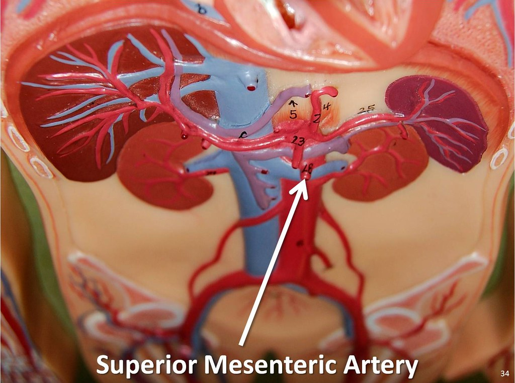 Superior Mesenteric Artery The Anatomy Of The Arteries V Flickr