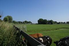 Koeien op een weiland
