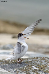 Little Terns #12