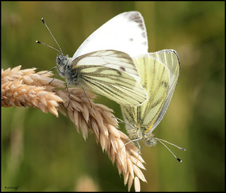 GREEN -VEINED WHITE'S MATING