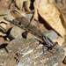 Small photo of Pond Damsel - Coenagrionidae