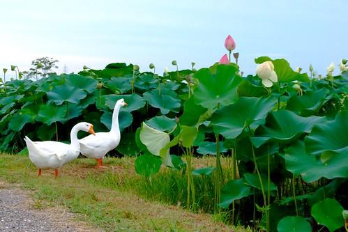 flower japan lotus finepix fujifilm aichi gettyimages tatsuta lotusflower aisaishi s6000fd lotusf sendohira kasenkoen