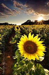 Sunflower's flare #2