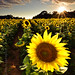 Sunflower's flare #2 by Gary Ngo | Photography