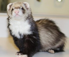 animal, mustelidae, mammal, fauna, whiskers, black footed ferret, mink, ferret,
