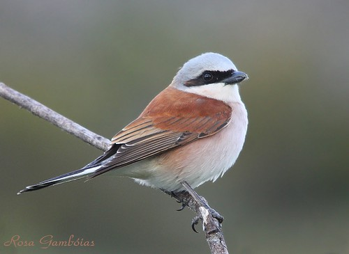 Picanço-de-dorso-ruivo | Red-backed Shrike (Lanius collurio)