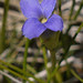 hiker's gentian - Photo (c) randomtruth, some rights reserved (CC BY-NC-SA)