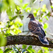 Oriental Turtle Dove, Koshi Tappu (Ron Brown)