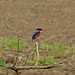 Small photo of Malachite Kingfisher (Alcedo cristata)