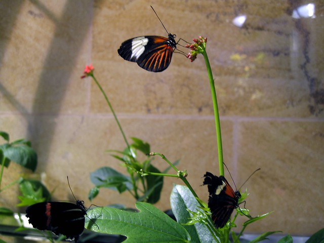 Butterflies at the Smithsonian Butterfly Pavilion