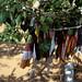 Ficus religiosa (Rowan McOnegal)