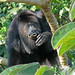 Yucatan Black Howler Monkey (Peter Dunn)