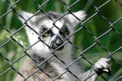 Ring-tailed Lemur - 28