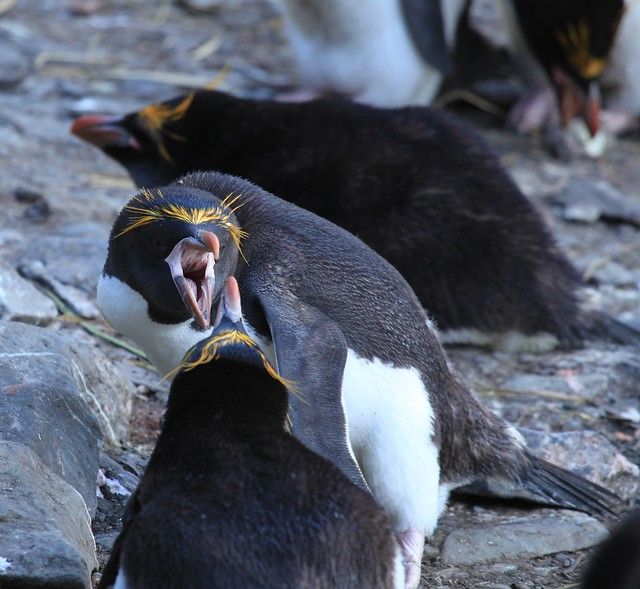 Macaroni Penguins air-cushioning