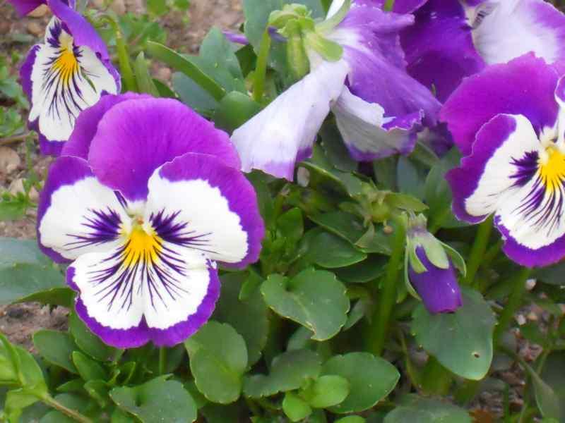 Viola x witrockiana 3
