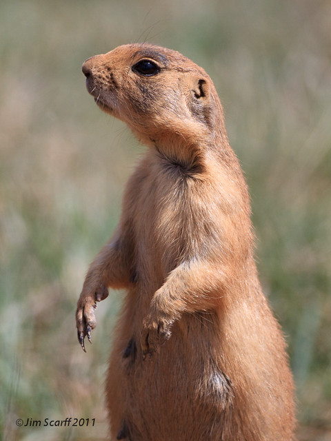 Utah Prairie Dog  Flickr  Photo Sharing