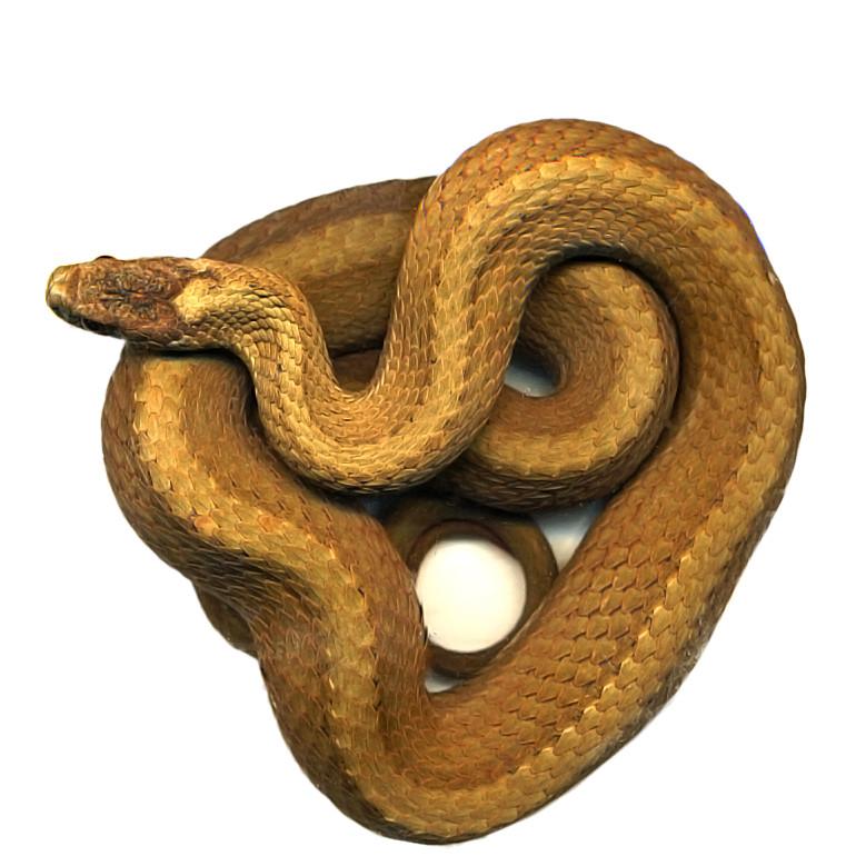 Redbelly snake 1 (Storeria occipitomaculata)