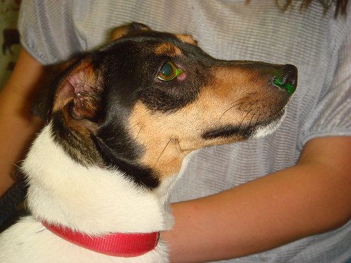 jrt with lump on eye