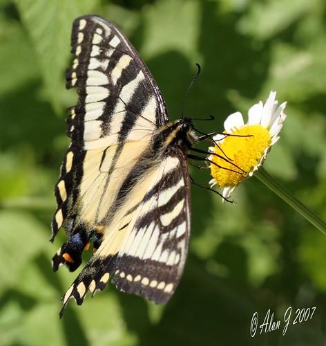 ny newyork canon butterfly bokeh adirondacks 7d upstatenewyork uppersaranaclake mygearandme ringexcellence 100mmmacrof28lisusm