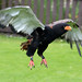 Small photo of Bateleur Eagle 4d