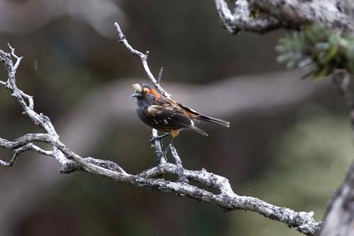 An ʻĀkohekohe sits on a branch.