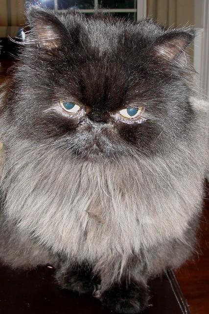 Persian Cat Food List