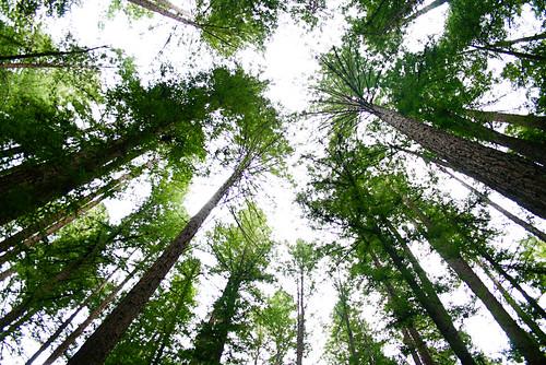 The Majestic Redwoods