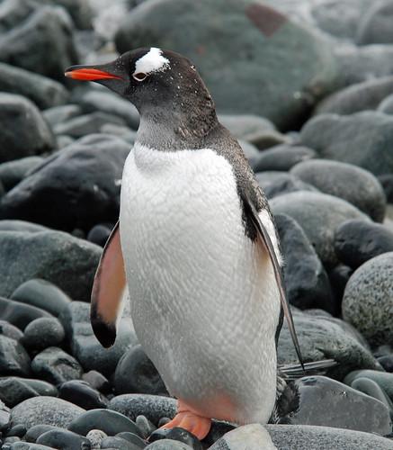 Gentoo Penguin, Half Moon Island, Antarctic Peninsula by Terathopius