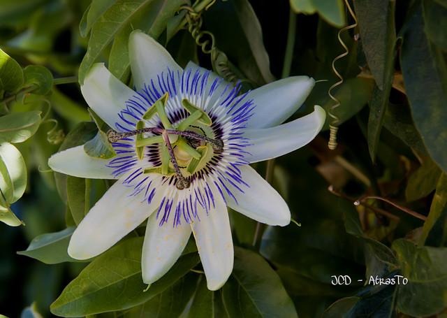 Passiflora Caerulea.