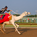 Sprint to the Finish - on a Camel?
