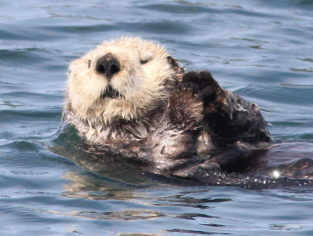 Sea Otter head crop 20110622