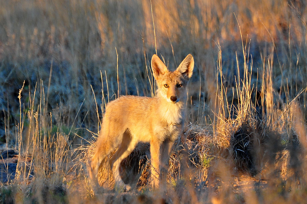 photo of Coyote pup